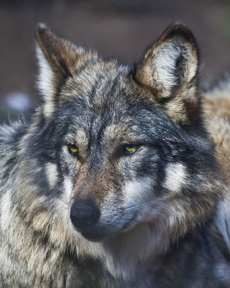 Wild Wolves | CALL OF THE WILD: WOLF CENTER IN JULIAN HELPS REINTRODUCE RARE BREED