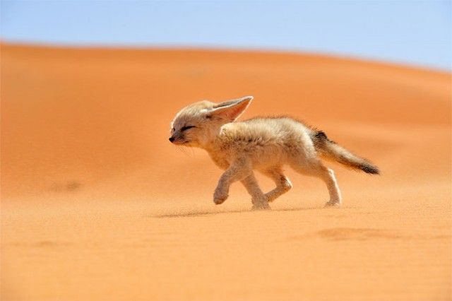 Fénec - the soul of the desert. National Geographic photographs could be my dream land.