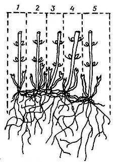 Как размножить клематисы делением куста и отводками
