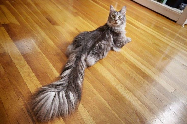 Cygnus, the world record holder for longest cat tail.#cats
