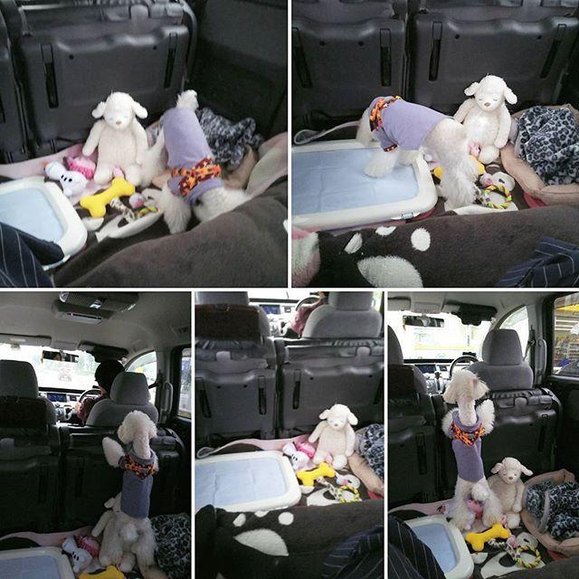 🐕… 車内の 様子…… けっこう くつろいでますね🐾🐾 #トイプードル5ヶ月 #トイプードル男の子 #トイプードル白 #トイプードルホワイト #トイプー #愛犬 #わんこ成長中 #でかわんこ #フワフワ犬 #箱根駅伝予選会 #昭和記念公園