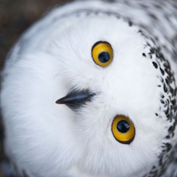 best Snowy Owl ideas on Pinterest Owls White owls and