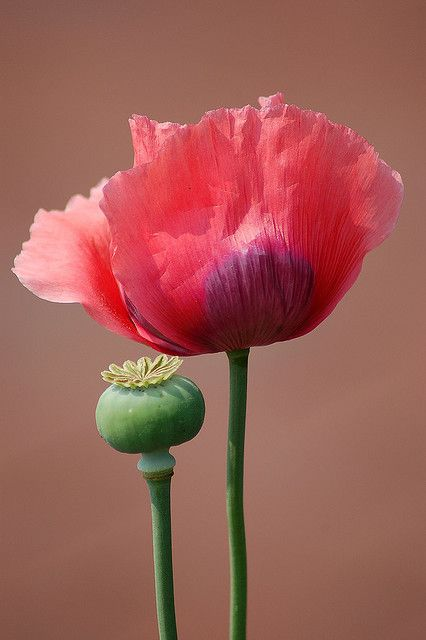 pink poppy and a poppy seed pod