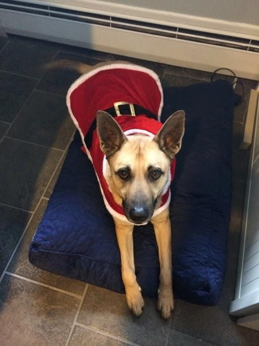 Meet Yaara, a Petfinder adoptable German Shepherd Dog Dog | Bensalem, PA | Hi!  I�m Yaara.  My name means best friend in Hindi and I want to be your best friend!  I am...