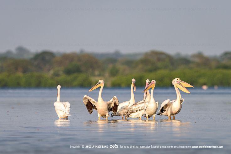 Pelicanos (Pelecanus onocrotalus) nas salinas da baía do Mussulo. Angola