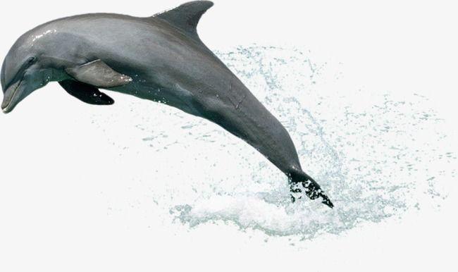 Les Dauphins Hors De L Eau De L Eau Dauphin Saut Fichier Png Et Psd Pour Le Telechargement Libre Dauphin Png Biologie Marine