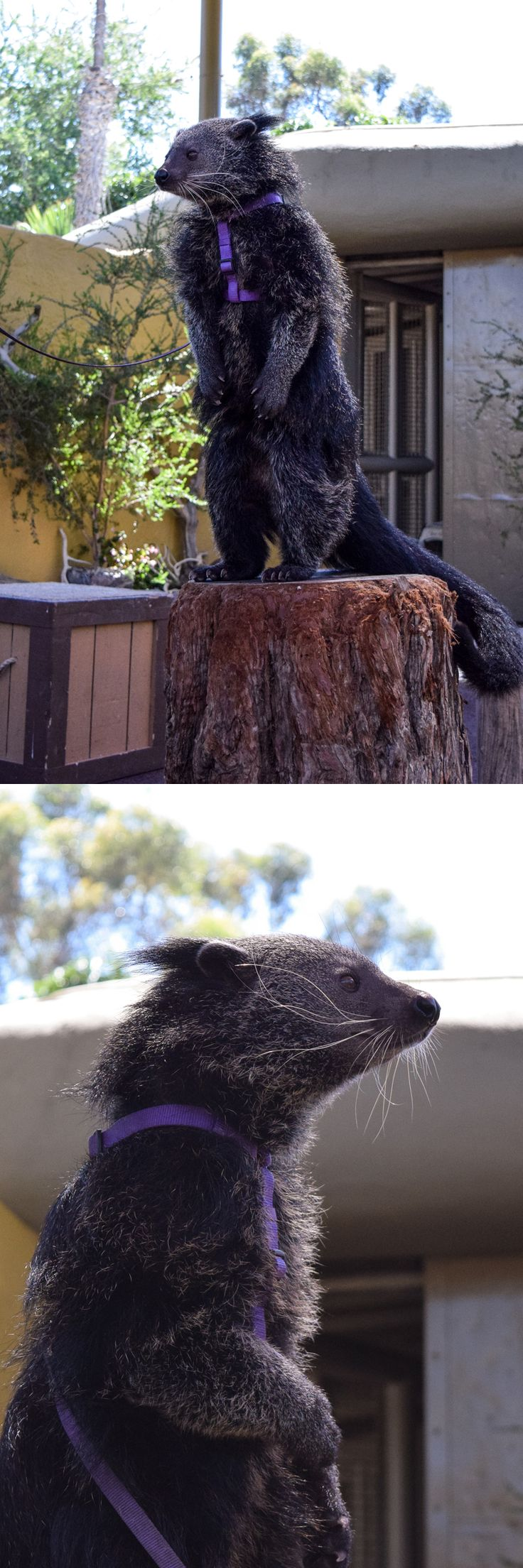 14 best Bearcats Binturong images on Pinterest Animals Animal