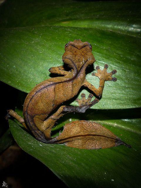 Satanic Leaf-tailed Gecko - Uroplatus phantasticus