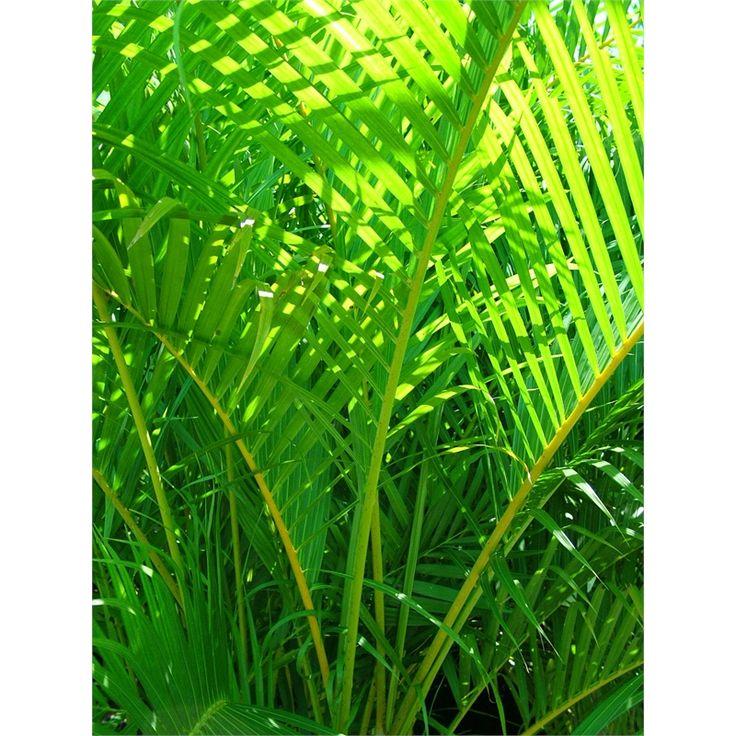 5L Chrysalidocarpus Lutescens Golden Cane Palm Sanctuary Range