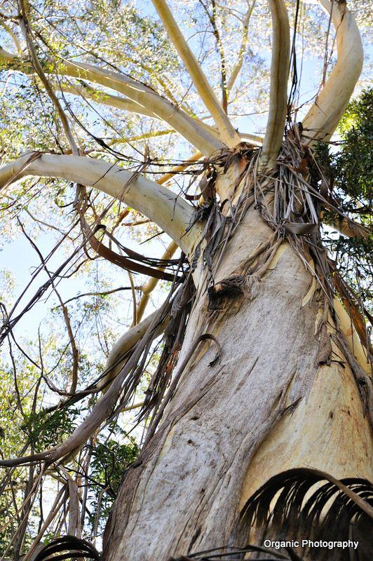 Ribbon Gum Mt Wilson Nsw Eucalyptus Trees