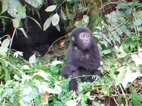 Baby gorilla chest pounds for the first time