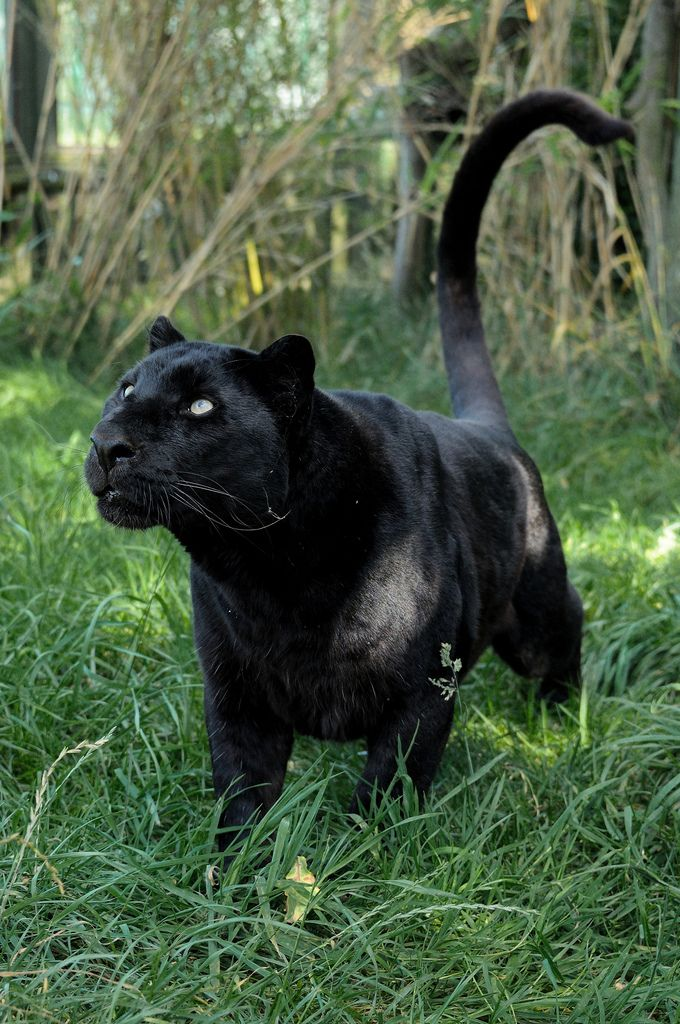 Zwarte luipaard. Meer weten over dit prachtige dier? http://www.stichtingspots.nl/index.php?page=244 (Foto: katuryn)