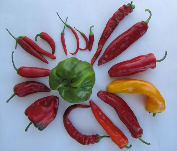 Chili peppers are used to get folks interested in plant breeding