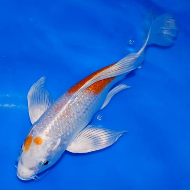 Pisces 7 cool koi fish for sale in miami koi fish sale for Koi carp fish for sale