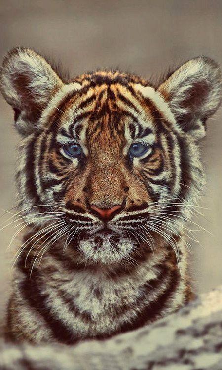 Cute tiger cub..!
