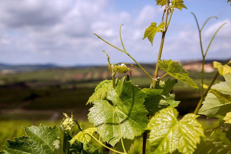 """HATÁRJÁRÁS A HOLDVÖLGYNÉL   A szőlész feladata, hogy együtt érezzen az adott évjáratban """"tőkéivel"""". Az egyik legnehezebb szakmai feladata pedig, megteremteni a lombozat- és fürt beltartalmi értékeinek egyensúlyát. A HOLDVÖLGY Birtokon a termesztéstechnológia magas szintű ismerete és összefüggéseinek alkalmazása mellett ez pedig könnyedén megoldott.  #Holdvölgy #Tokaj #grapes #wine #winery #Hungary #winegrapes"""