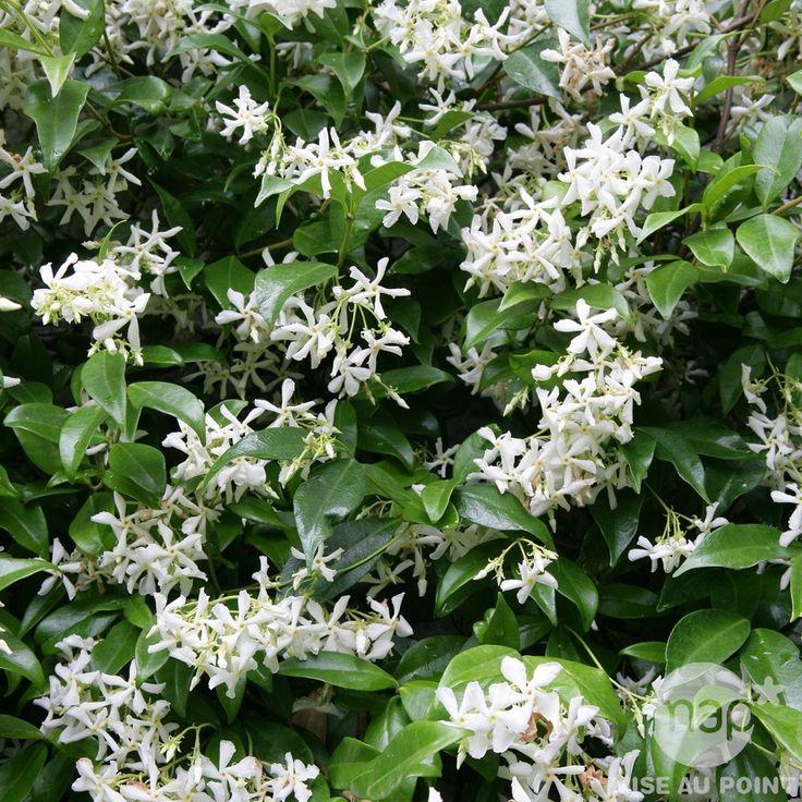Rhyncospermum jasminoides: Hauteur 150 /175 cm Conteneur 5-7 Litres