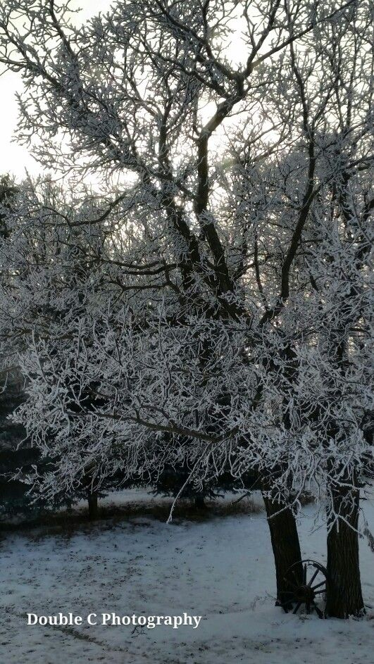 Hoar frost on Oak tree