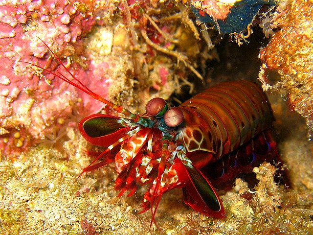 Mantis Shrimp (Stomatopoda order) - Bunaken National Park, Sulawesi, Indonesia.  They are common in tropical and subtropical waters.  Photo: Mirella Wognum.  -kc