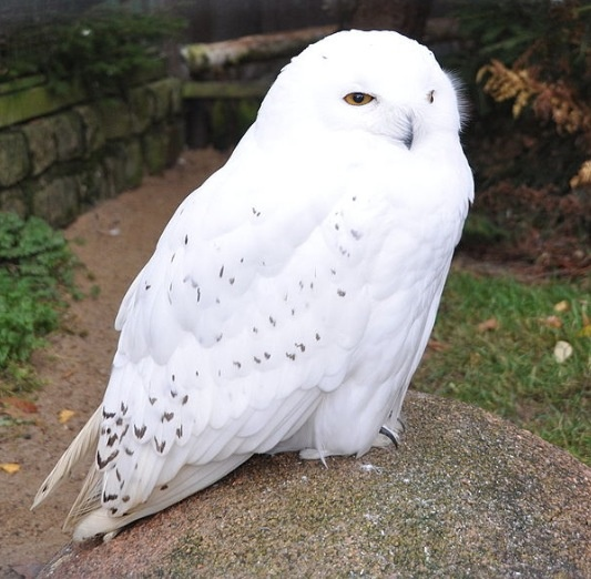 Fjälluggla / Snowy owl