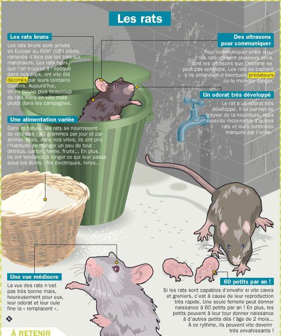 Fiche exposés : Les rats                                                                                                                                                                                 Plus