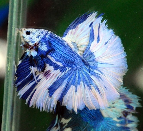 The gallery for --> Blue And White Betta Fish