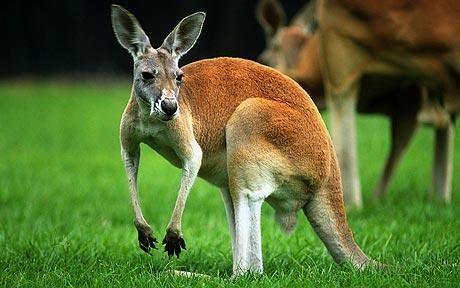 Kangaroos similar to humans, claim Australian researchers - Telegraph