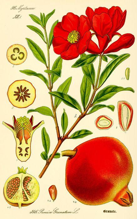 The Pomegranate. Best food packaging, ever? Prof. Dr. Otto Wilhelm Thomé Flora von Deutschland, Österreich und der Schweiz (1885), Germany.