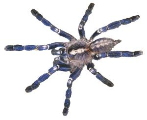 Indian Sapphire Ornamental tarantula for sale - Poecilotheria regalis