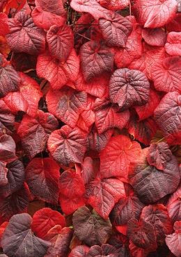 Vitis Cognetiae Crimson Glory Vine Garden Ideas