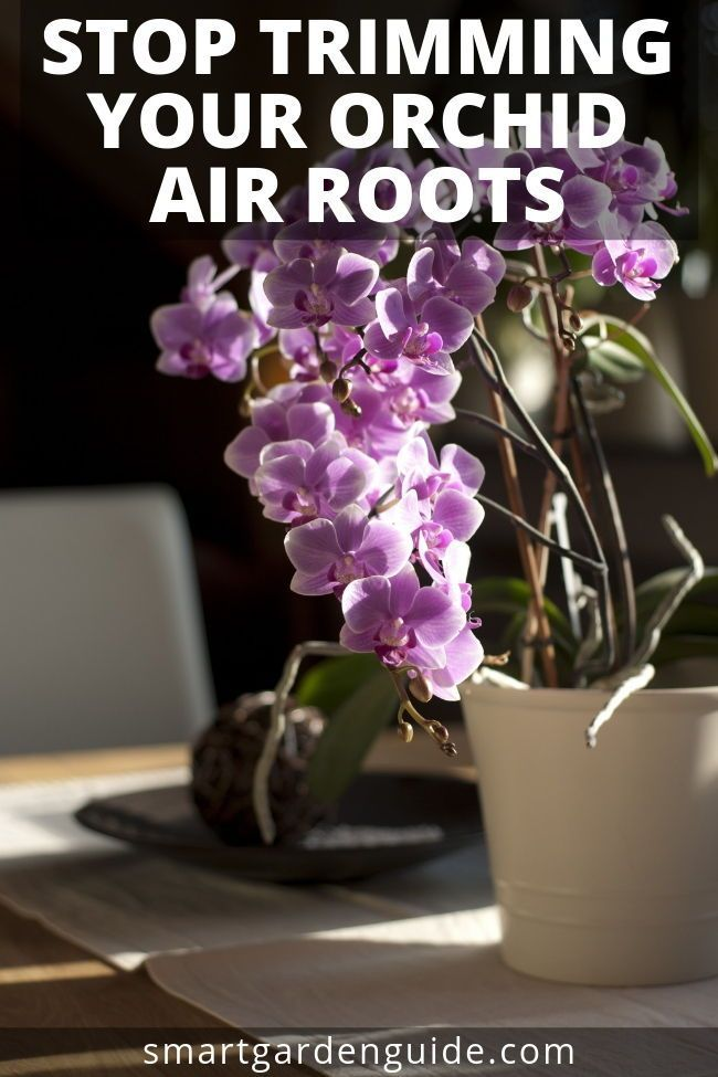 Please Don T Trim Your Orchid Air Roots Follow These Orchid Care Tips And I Ll Show You How To Manage Them Whether You Like T Orchid Care Orchids Orchid Roots
