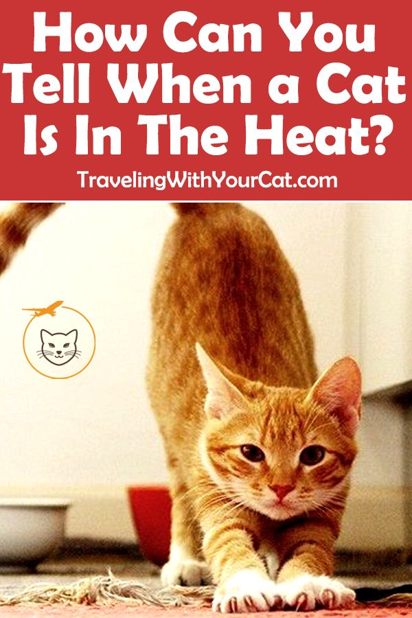 How Often Does A Cat Go Into Heat Cat In Heat Cats Cat Health