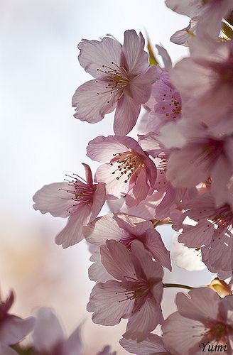 sakura   I love it, so very soft.