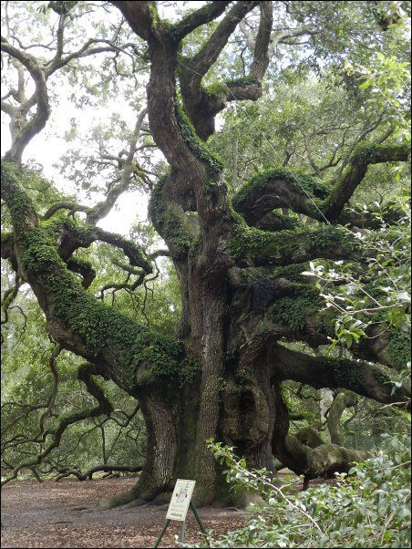 """A SACRED TREE was known as a """"bile"""" [bʲilʲə] in Old Irish.  It was often a sacred tree, of great age, growing over a holy well or fort. Five of them are described in the Dindsenchas, and one was an oak, which not only yielded acorns, but nuts and apples."""