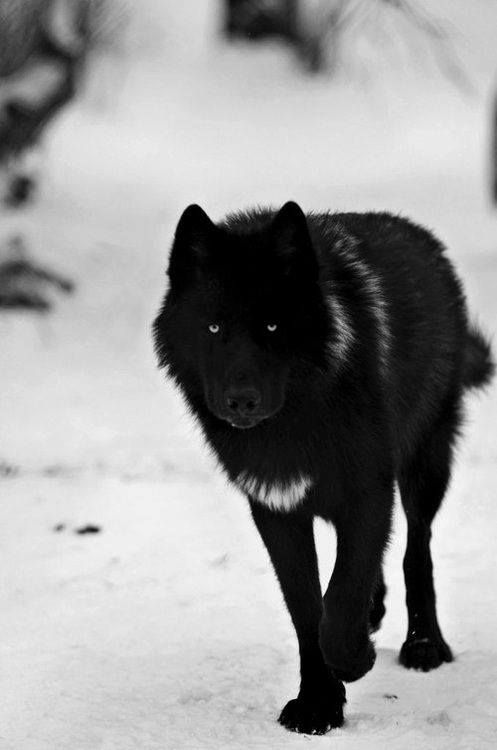 Black wolf with hint of white, majestic.
