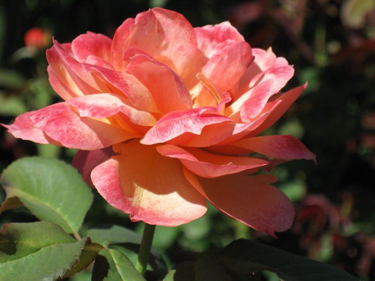 Beautiful peachy rose