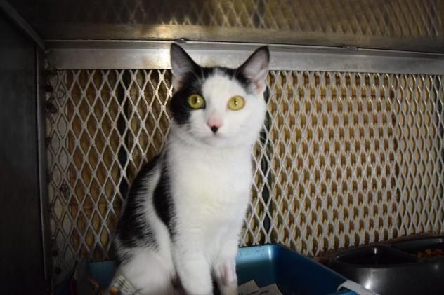 Paris - URGENT - ISLIP ANIMAL SHELTER AND ADOPT-A-PET CENTER in Bay Shore, NY - ADOPT OR FOSTER - 1 year old Spayed Female Domestic SH