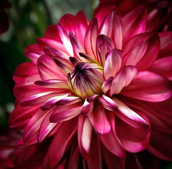 http://fineartamerica.com/featured/dahlia-unfolding-athena-mckinzie.html
