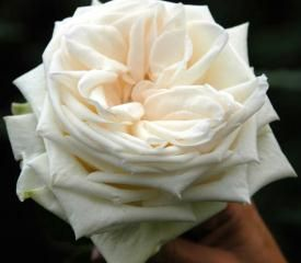Roses, White O'Hara is a large, French, white rose, with a slight ivory tinge at the center, that opens up fully in a quartered way. It is very fragrant and wonderful for weddings and special events. It is hardy to ship and its vase life is extraordary. A perfect white garden rose!