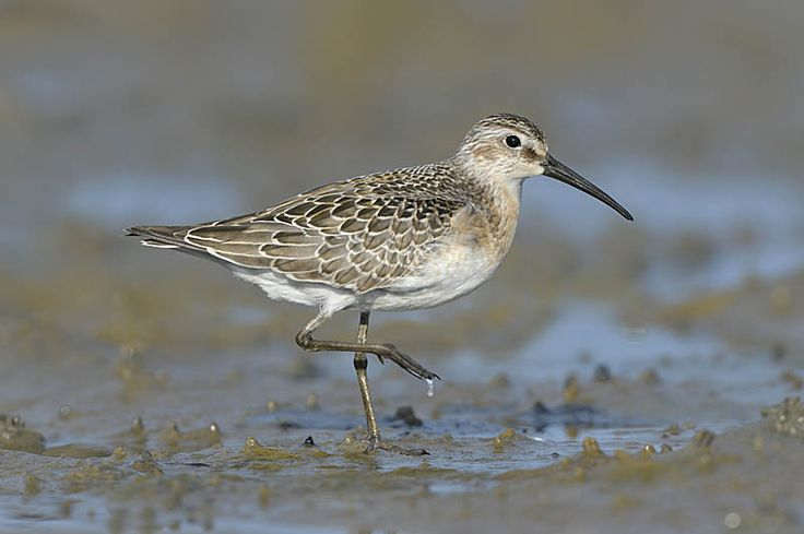 Curlew Sandpiper - Calidris ferruginea. Copyright Paul Sterry/Nature Photographers Ltd
