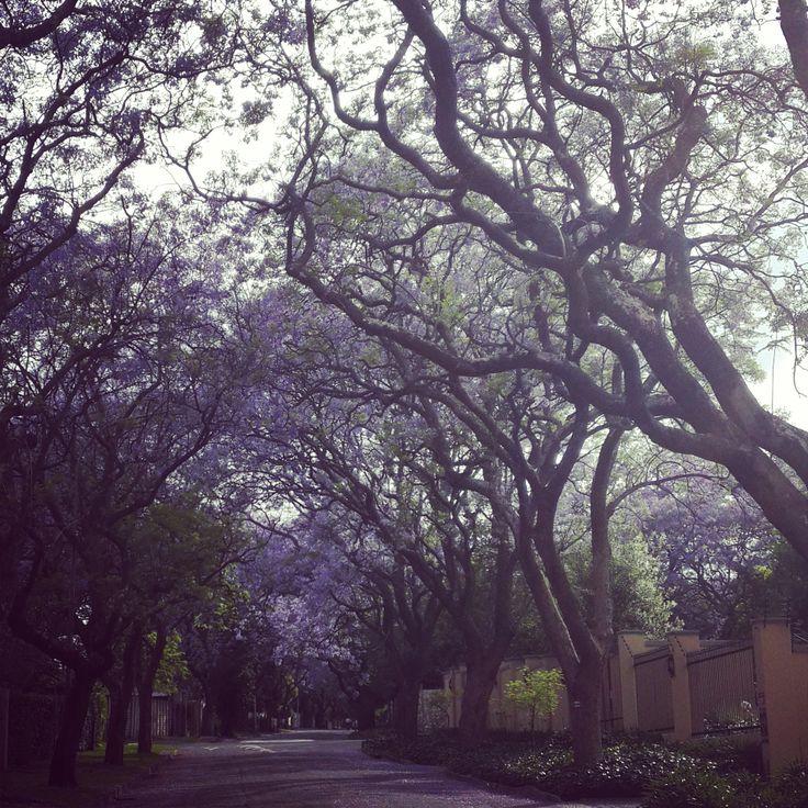 Jacaranda trees in Parktown