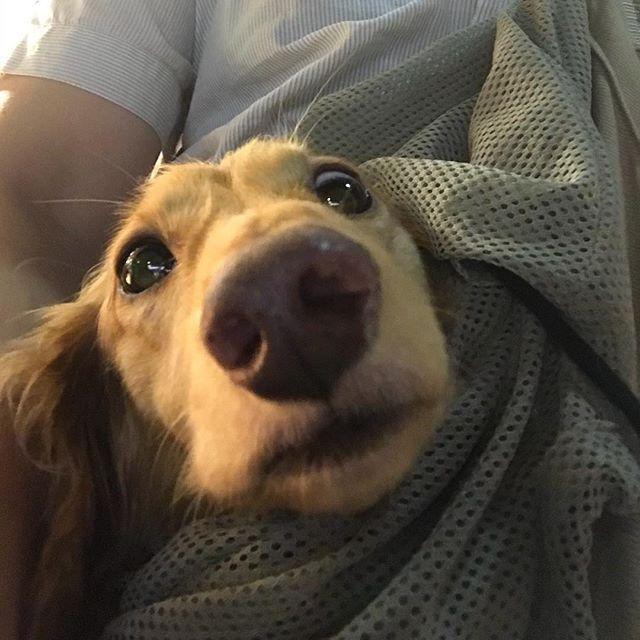 #お出かけ#大好き#ただいま #おつかれさま#抱っこ紐 #有袋類#多摩川#散歩#ワンコ#ミニチュアダックス#ダックス#短足#犬好き#愛犬#犬#dog#ワンコ友達#神奈川#横浜#道産子