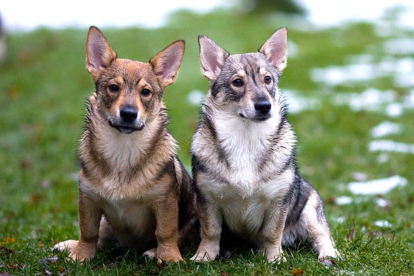 105 Best Swedish Vallhund Images On Pinterest Doggies