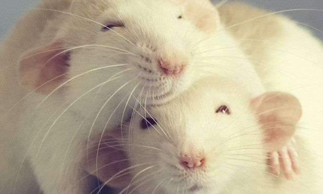 Scientists Tickle Lab Rats In Study To Improve Welfare In Captivity Cute Rats Cute Animals Pet Rats
