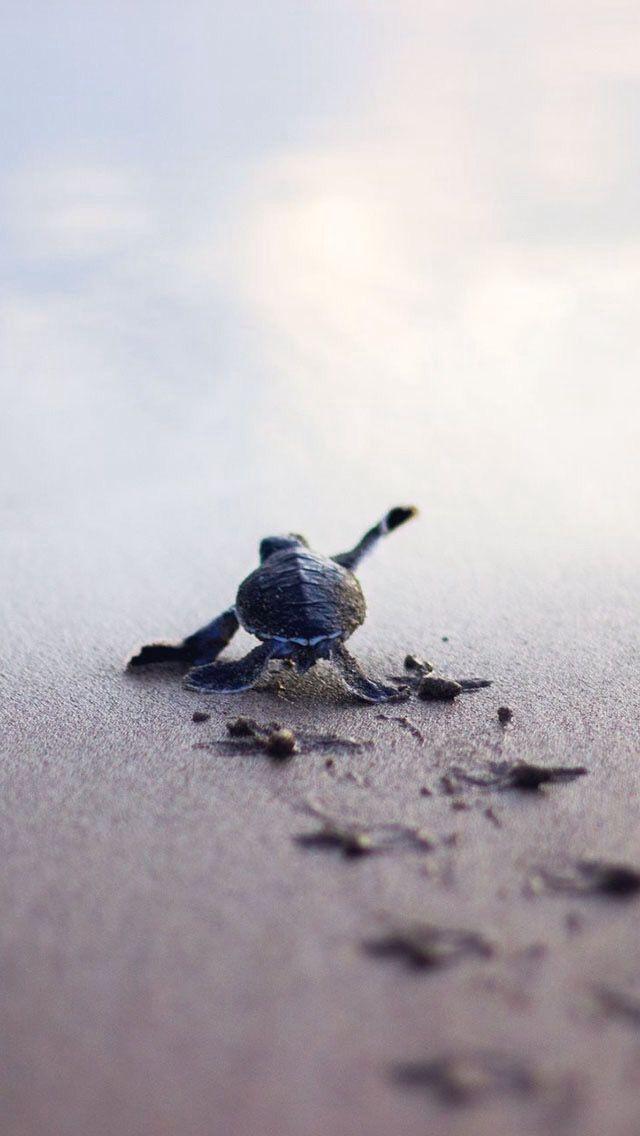 Eine kleine Schildkröte auf den Weg ins Meer   www.lavita.de
