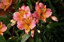 Alstroemeria (Peruvian Lily or Lily of the Incas). My very favorite flower! You can usually find a vase of these in my home.