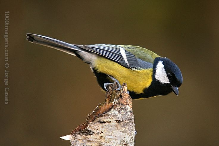 'Chapim-Real (Parus major)', de Jorge Casais