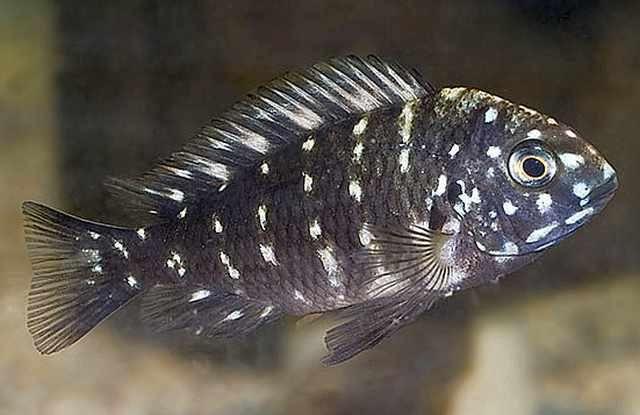 Tropheus Duboise (Small) | AquariumFishSale.com - Live Tropical Fish for Sale!