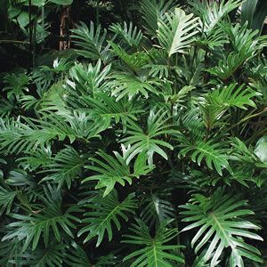 Philodendron Xanadu Xanadu has large green leaves that gives this tropical plant a lush decorative appearance. Compact and tidy, it wont take over in the garden, and it is ideal for pots and containers. Can be grown inside in a brightly lit position. Outdoors it prefers a full sun position. - Gardening Pacer
