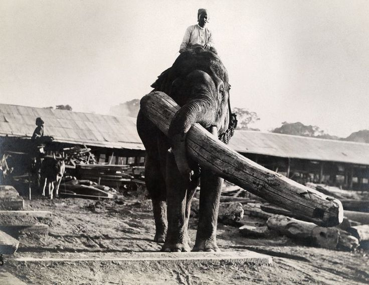 How Burmese Elephants Helped Defeat the Japanese in World War II  Remembered in Ivory Wild, a Novel http://www.amazon.com/Ivory-Wild-Trilogy-Book-ebook/dp/B00MAU19KI/ref=sr_1_1?s=digital-text&ie=UTF8&qid=1412181993&sr=1-1&keywords=ivory+wild